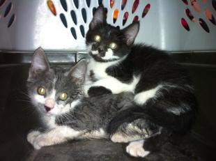 Avery and Gray Kitten