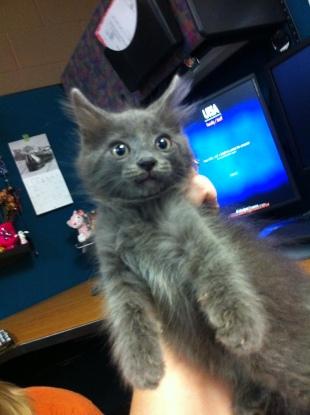 Gray Mama's Kitten