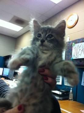 Grey Kitten, Olivia