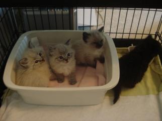 BSE Kittens