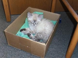 BSE Kitten