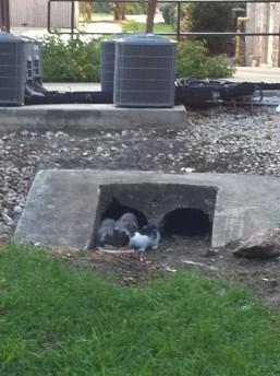 Gray Mama Kittens, 2010