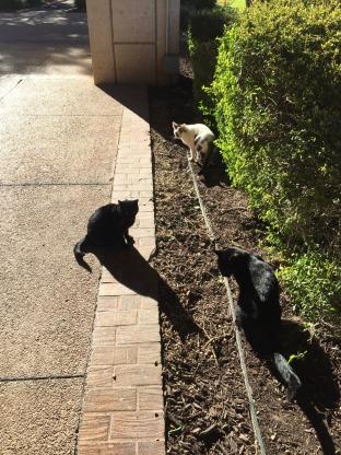 Convo kitties