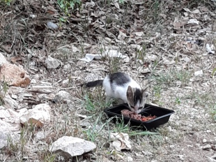New gray-white kitten at Business site, June 16, 2020